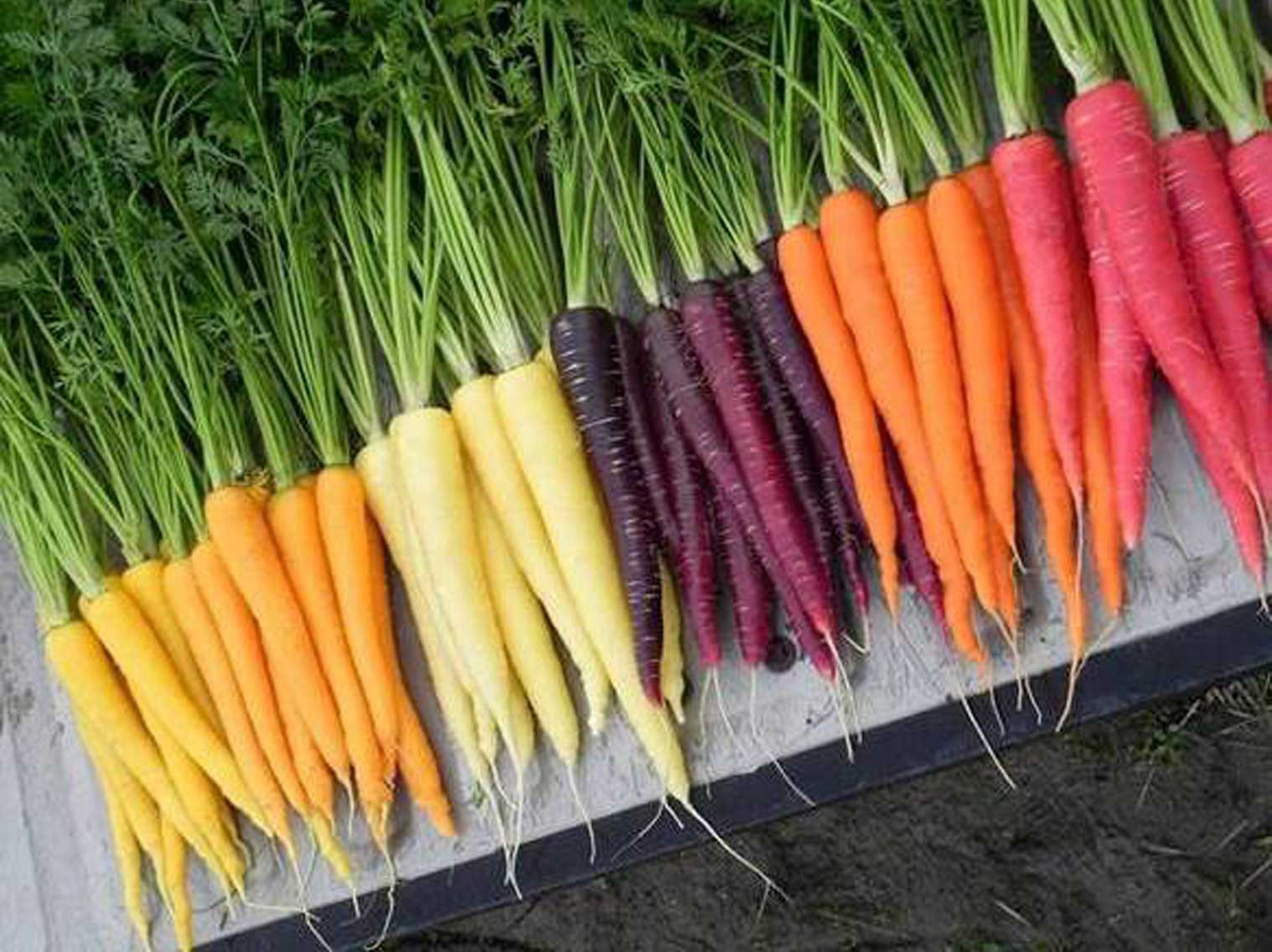 A colorful array of heirloom carrots